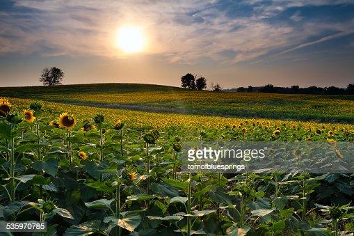 Sunset Sunflowers : Stock Photo