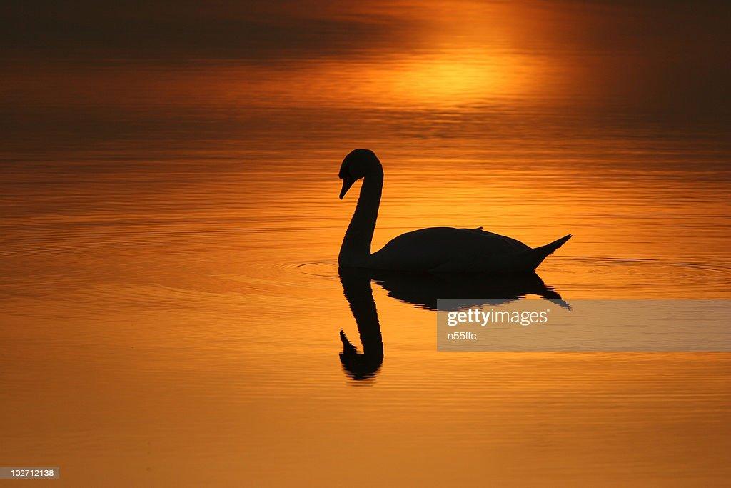 Sunset swans : Stock Photo