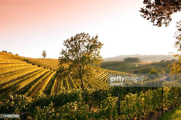 Sunset view over vineyard landscape in north of Italy