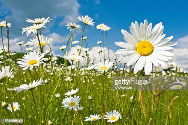 Sunshine daisies vibrant wild meadow