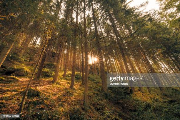 Sunshine forest trees. Peaceful outdoor scene - wild woods nature. Sun through green forest nature. Peaceful outdoor woods nature.