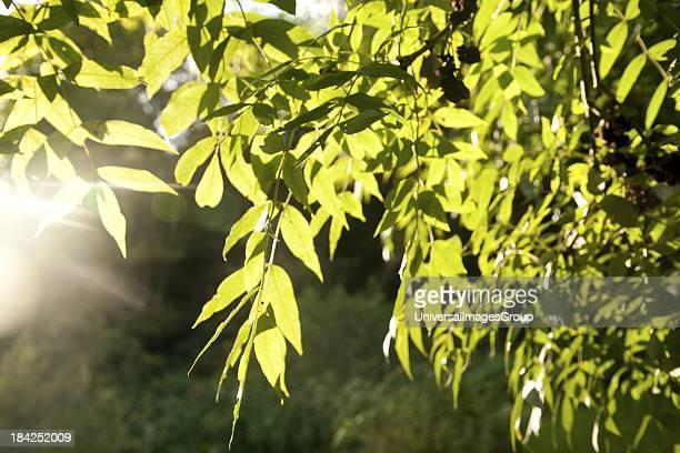 Sunshine shining through green leaves on a ash tree illustrating photosynthesis UK