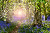 Dappled sunlight illuminates a host of blue and purple bluebells in ancient woodland in Dorset