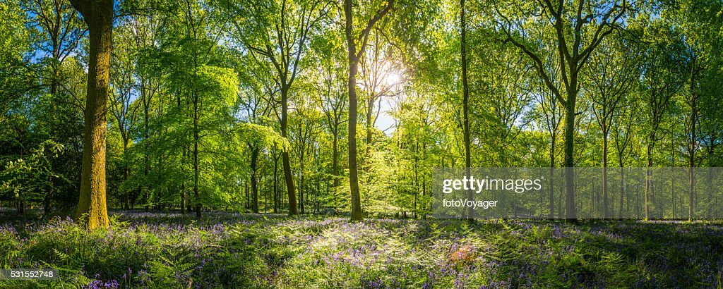 Chaud soleil idylliques bois Glade fougères fleurs sauvages Panorama vert forêt : Photo