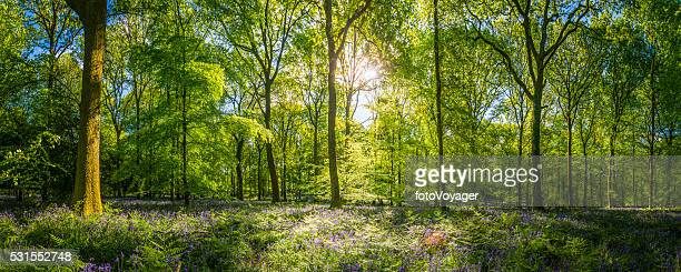 Sunshine warming idyllic woodland glade green forest ferns wildflowers panorama