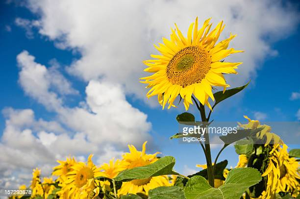 Sunward Sunflower