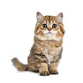 Adorable golden British Longhair kitten on white background