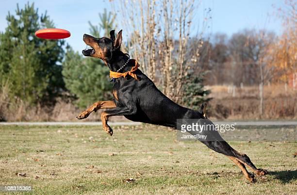 スーパー、ドーベルマンピンシャーの犬を実行、ジャンプ、フリスビーの下をキャッチ