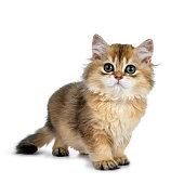 Cute golden british longhair cat kitten on white background