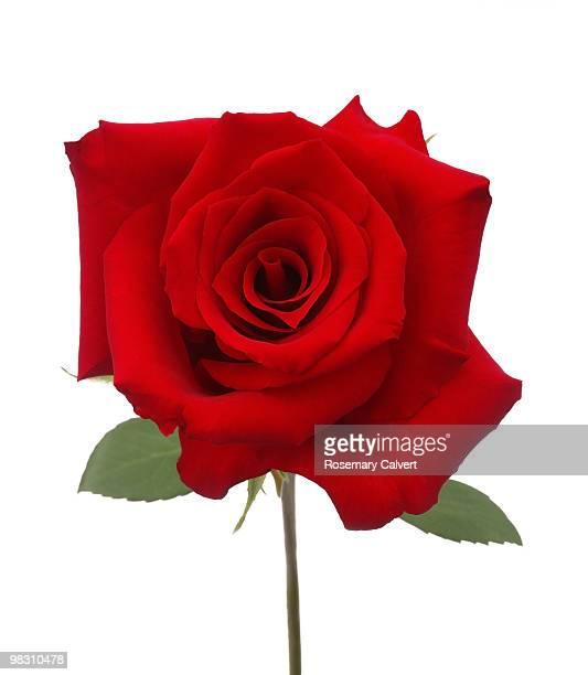 Superb hybrid red rose on white background
