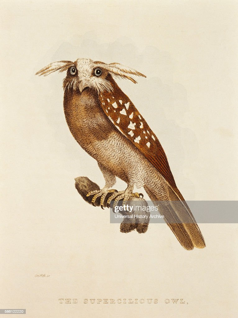 Supercilious Owl S griseata HandColored Engraving from Original by Baron Cuvier circa 1828