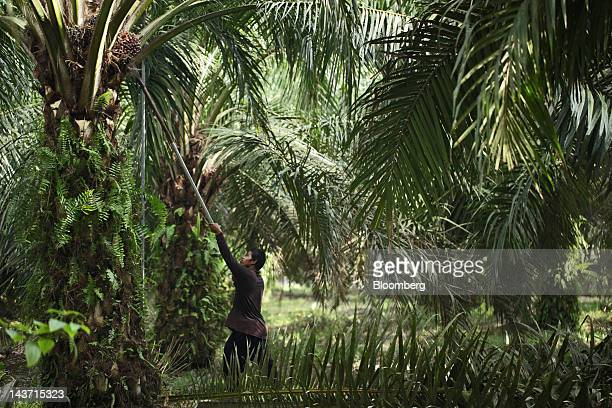 Supriyanto harvests palm fruit at the PT Bakrie Sumatera Plantations palm oil plantation in Kisaran North Sumatra Indonesia on Thursday April 26 2012...