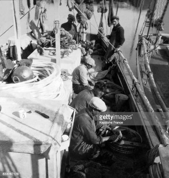 Sur le pont d'un bateau les hommes nettoients les éponges qu'ils ont pêchées dans la mer à Tarpon Springs Floride EtatsUnis au début du XXe siècle