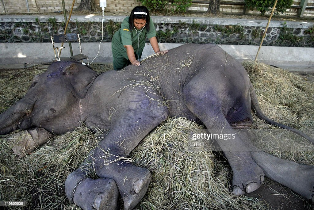 A Surabaya Zoo health worker checks the pulse of the sick 35yearold female elephant named Fitri in East Java on July 26 2011 Fitri one of ten...