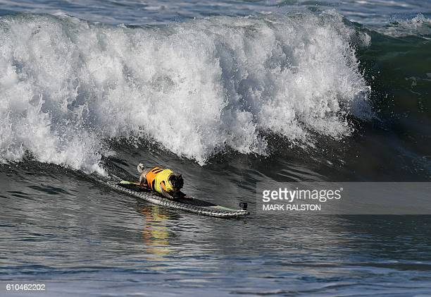 Surf dog Brandy the Pug catches a large wave during the 8th annual Surf City Surf Dog event at Huntington Beach California on September 25 2016 Dogs...