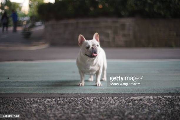 Surface Level Of French Bulldog Standing On Street