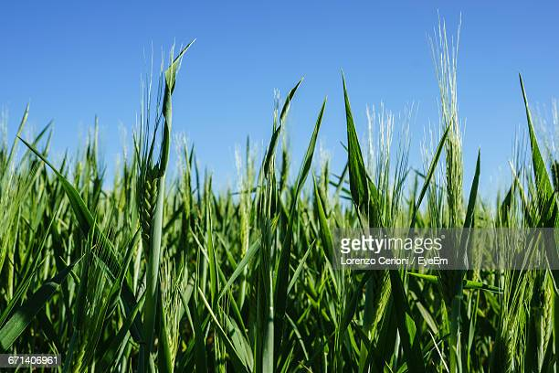 Surface Level Of Grassland Against Clear Blue Sky