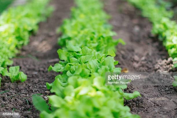 Surface level of lettuce field