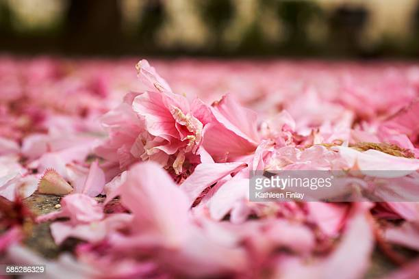 Surface level view of pink spring blossom petals on park ground