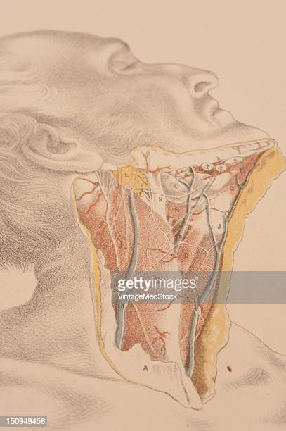 Surface view of the dissection neck showing muscles arteries nerves and tissue to the end of the clavicle 1882 From 'Illustrations of Dissections in...