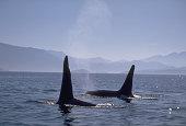 Surfacing Orca Near San Juan Islands, Washington