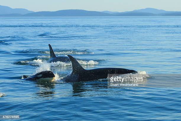 Surfacing orcas