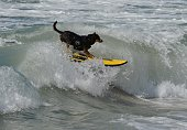 Surfer Dog Abbie Girl rides a wave in the Large division during the 6th Annual Surf Dog competition at Huntington Beach California on September 28...