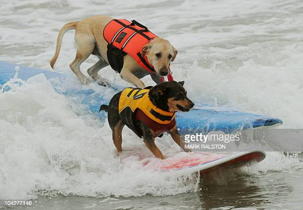 Surfer dog Abbie who is an Australian Kelpie cross drops in on Cali as they rides waves to the beach during the annual Surf City Surf Dog competition...