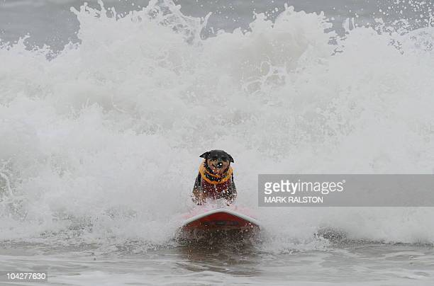 Surfer dog Abbie who is an Australian Kelpie cross rides a wave to the beach during the annual Surf City Surf Dog competition at Huntington Beach in...