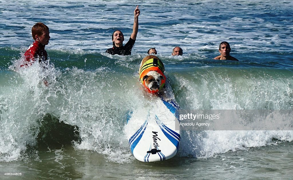 A surfer dog rides a wave during the 6th Annual Surf Dog competition in the waves of Huntington Beach, California on September 28, 2014.