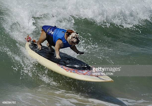 Surfer Dog Tillman rides a wave in the Large division during the 6th Annual Surf Dog competition at Huntington Beach California on September 28 2014...