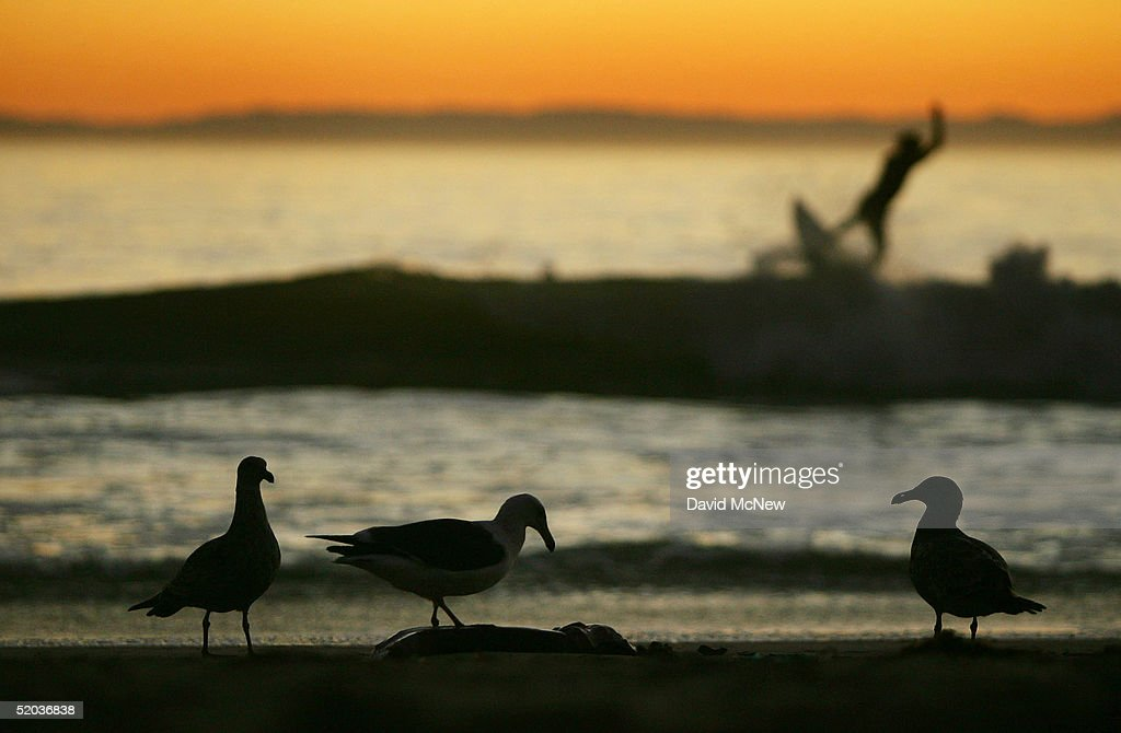 A surfer pulls out of his wave as seagulls eat a giant squid that washed ashore on January 19, 2005 in Newport Beach, California. Scientists are trying to figure out why hundreds of the three- to four-foot-long squids washed up overnight along the southern California coast. One theory suggests that the squid may have run ashore while chasing grunions, small fish that lay their eggs on the land during the high tides of summer, as they passed close to shore. Other factors, such as unseasonably warm ocean temperatures, the recent record rainfalls, and the sudden summer-like weather are also suspected.