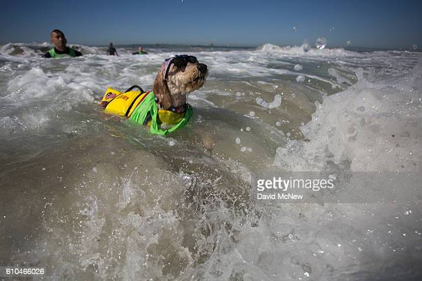 A surfing dog named Derby swims through waves after a wipe out at the Surf Dog Competition at the 8th annual Petco Surf City Surf Dog event on...