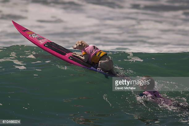 A surfing dog named Sugar and Ryan Rustan paddle out during the Surf Dog Competition at the 8th annual Petco Surf City Surf Dog event on September 25...