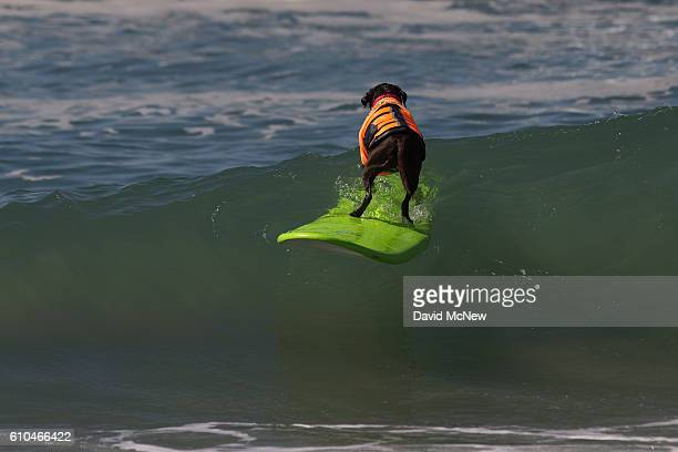 A surfing dog rides a wave backwards at the Surf Dog Competition at the 8th annual Petco Surf City Surf Dog event on September 25 2016 in Huntington...