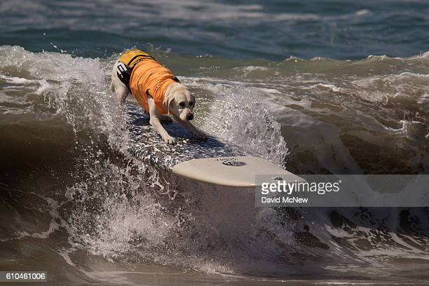 A surfing dog rides a wave during the Surf Dog Competition at the 8th annual Petco Surf City Surf Dog event on September 25 2016 in Huntington Beach...
