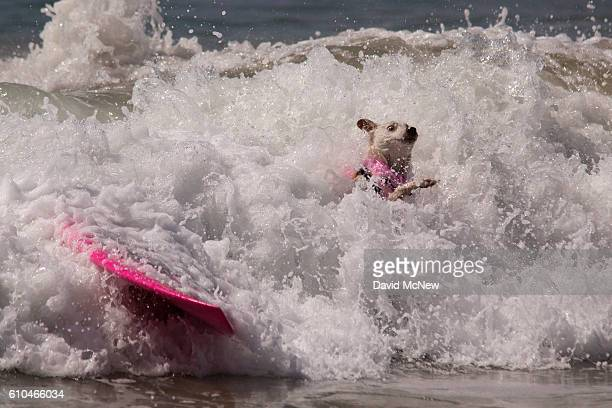 A surfing dog wipes out during the Surf Dog Competition at the 8th annual Petco Surf City Surf Dog event on September 25 2016 in Huntington Beach...