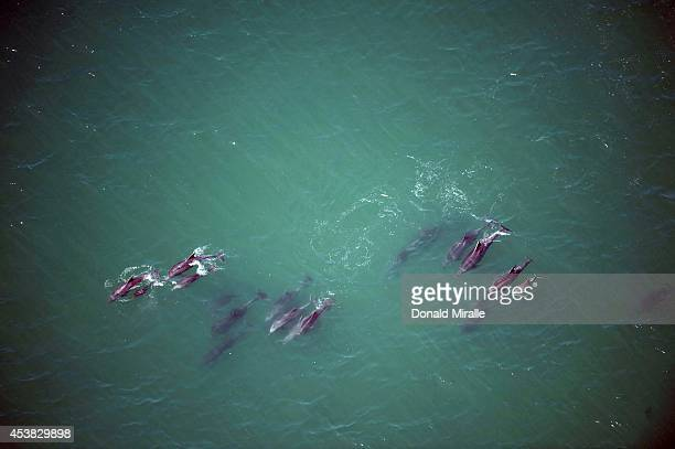 US Open of Surfing Aerial view of dolphins swimming near Surf Stadium Photo shot from the Goodyear Blimp Huntington Beach CA CREDIT Donald Miralle