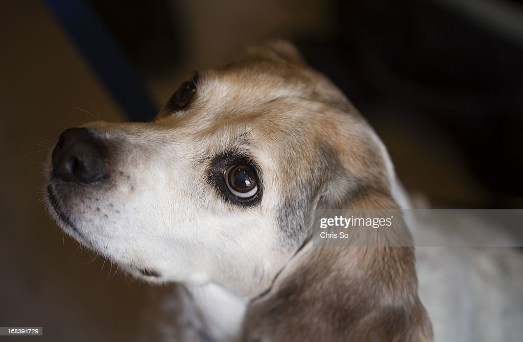 A surgical scar is barely visible as a part in the middle of Rilley's skull. In November 2010 Rilley the 12 year old beagle mix dog belonging to the Janke family underwent brain surgery in Minnesota to remove a tumor in his brain lining. He is now cancer free. The clinical trial involved re-introducing Rilley to a vaccine made from the cancerous cells removed from the brain. Researchers have gone on to do trials with humans.