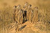 Meerkat (Suricata suricatta) family, Kalahari desert, South Africa