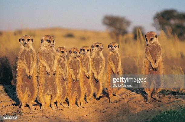 Suricate (Suricate Suricatta) Kalahari Desert, Botswana
