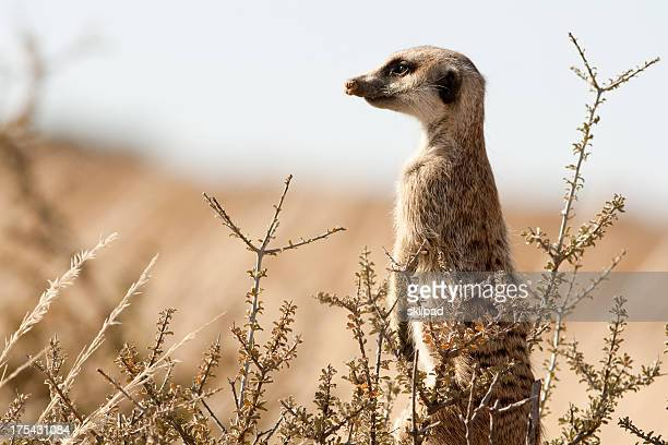 suricate on the lookout