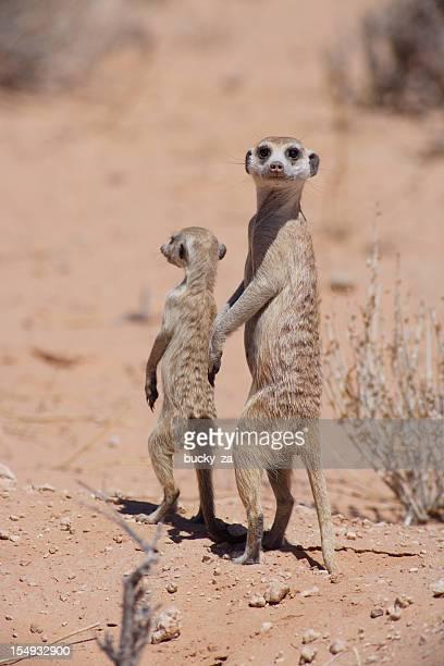 Suricate pair standing upright in there natural kalahari desert habitat