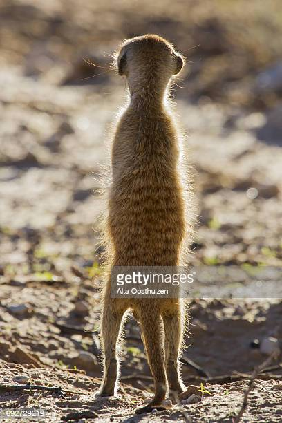 Suricate (Suricata suricatta)sentry standing in the early morning sun back lit looking for possible danger, Kgalagadi Transfrontier Park, Northern Cape, South Africa, Africa