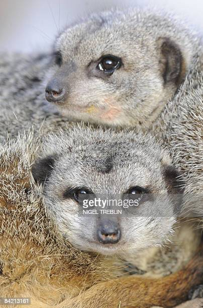 Suricates cuddle to warm up in their enclosure at the Hanover zooon January 8 2009 Suricates are small mammals living all parts of the Kalahari...
