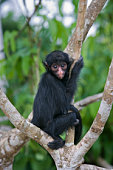Suriname, Black spider monkey. Young.