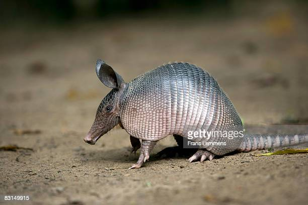 Suriname, Nine-banded Armadillo.