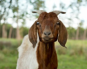 Surprised goat with eyes wide open making a funny face