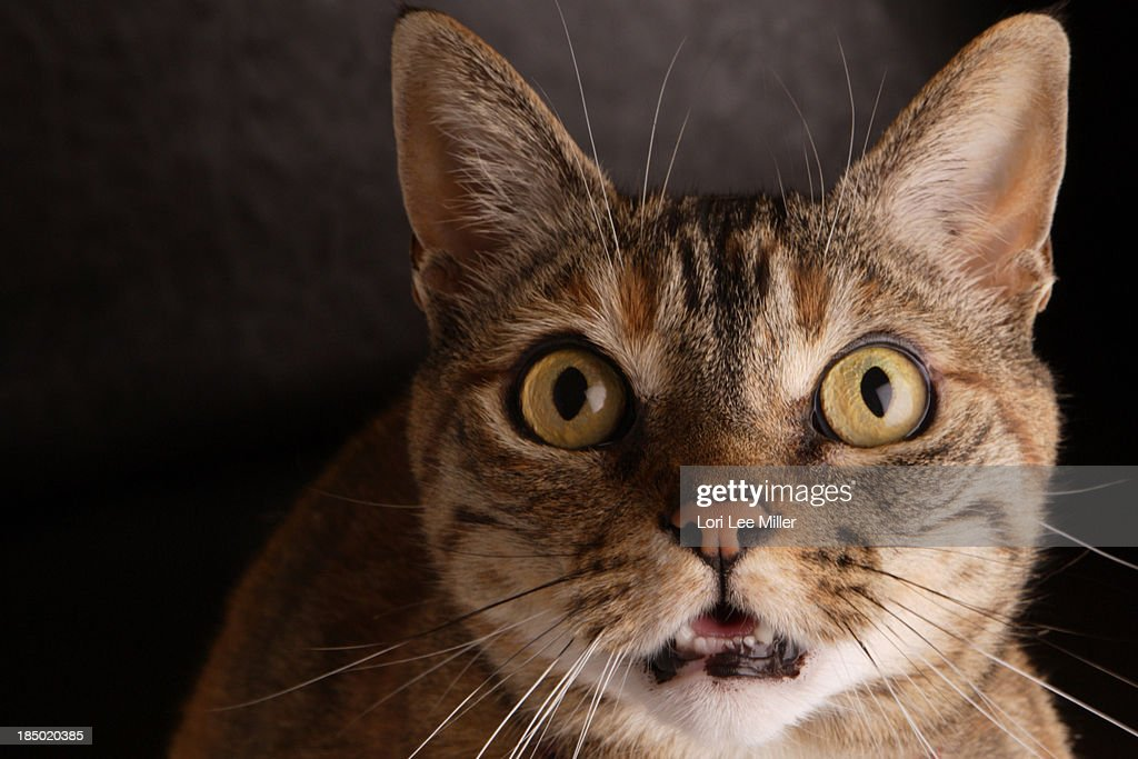 A female domestic indoor cat with a surprised wide eyed facial expression.