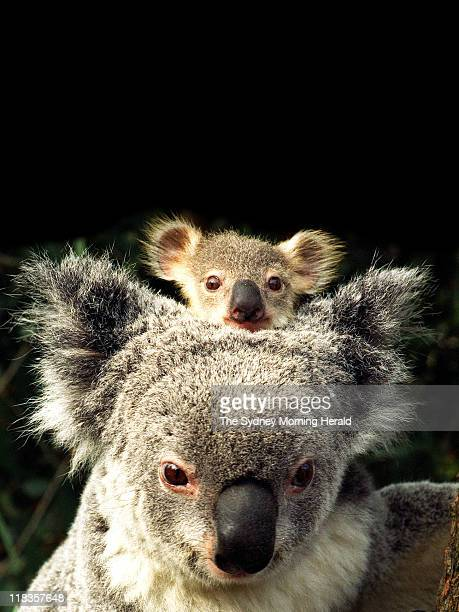 Surrogate mother Gismo with 9 month old baby koala Dimple at The Australian Wildlife Park at Wonderland on 2 September 1996